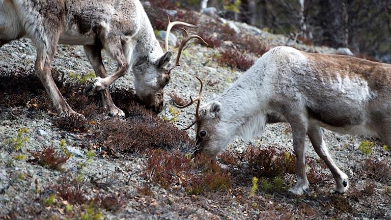 Drygt 300 renar har dött i Norge efter ett blixtnedslag.