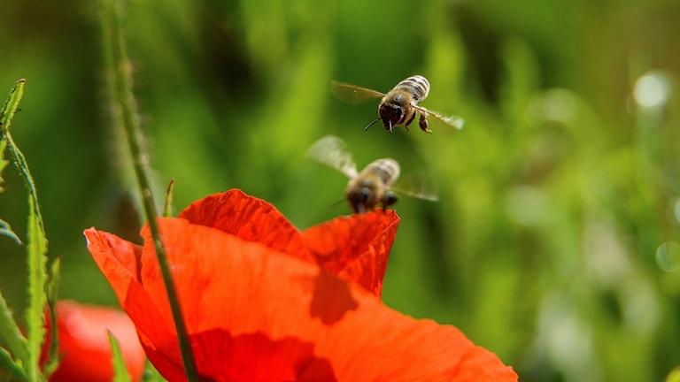Blomma och bin.