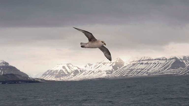 Stormfågel svävar utanför Svalbards kust.