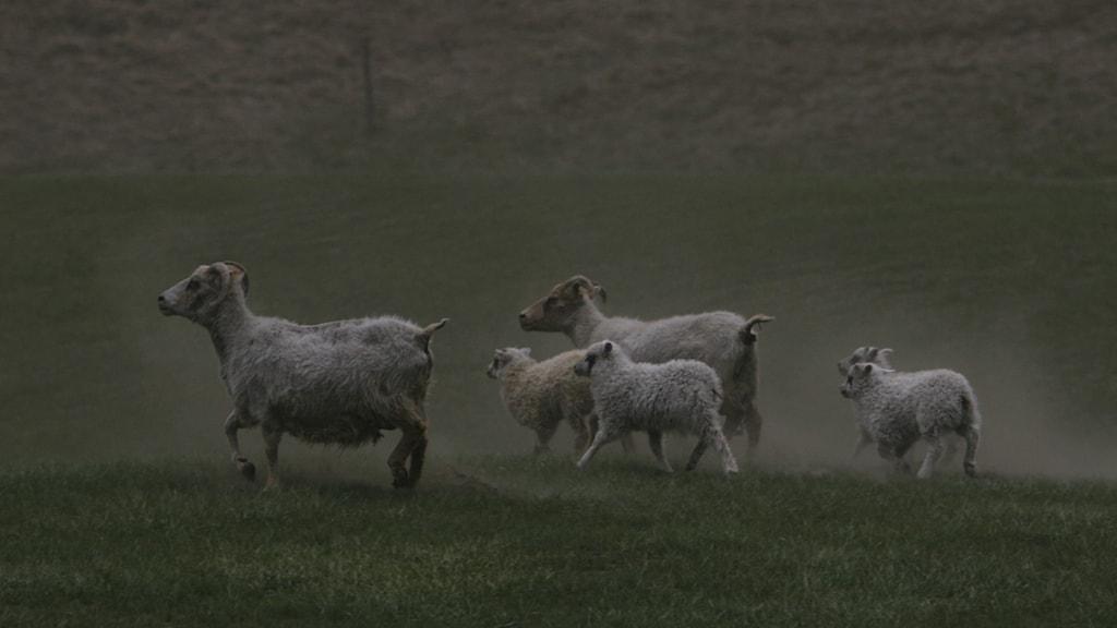Isländska får på ett fält i Kirkjubaearklaustur.