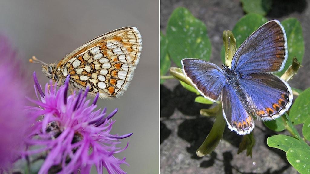 Fjäril med nätmönstrad vinge i vitt och orange sitter med hopslagna vingar på en knallrosa blomma och en Blåskimrande fjäril med små orange detaljer på bakvingarnas kant
