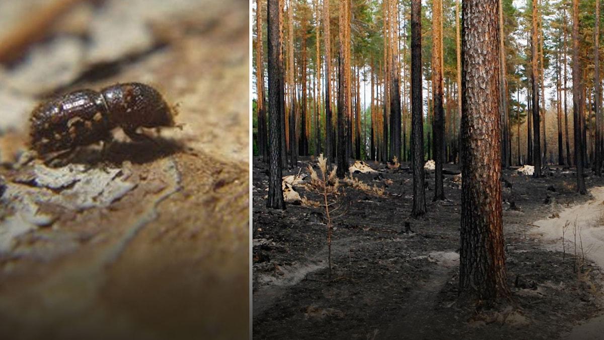 Granbarkborren skadade mer skog än skogsbränderna under förra året.