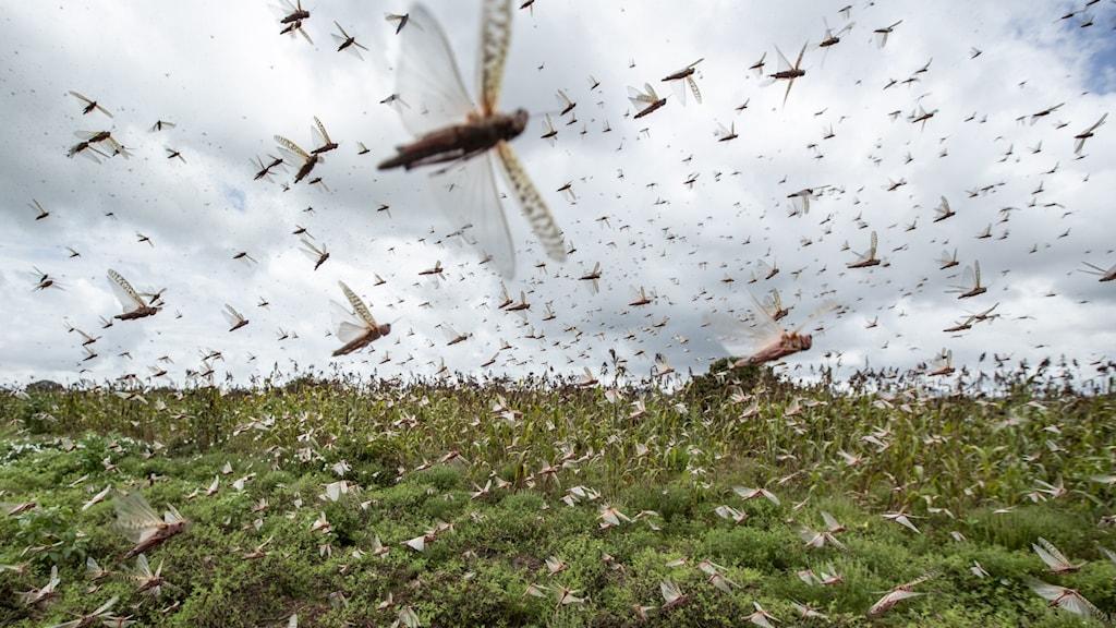 Svärm av gräshoppor i Kenya.