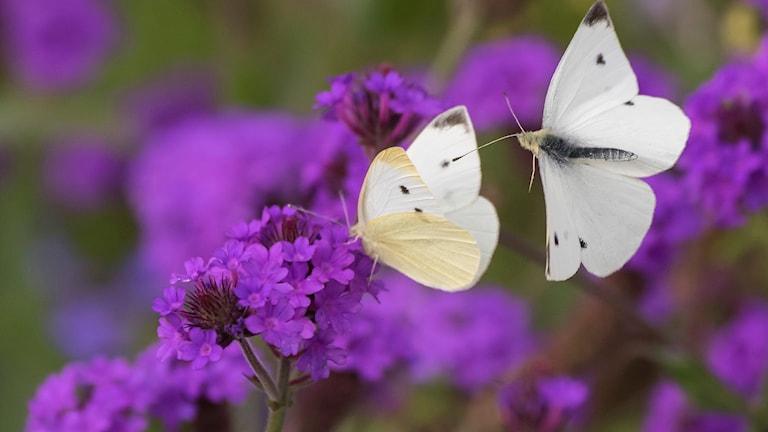 Fjärilar på blommor
