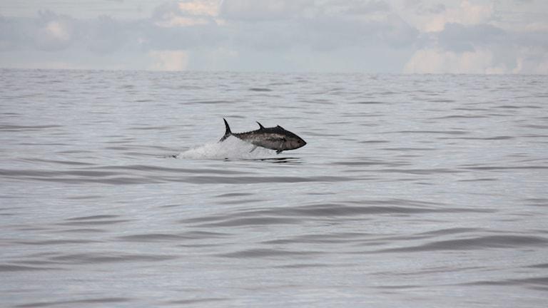Blåfenad tonfisk hoppar över ytan