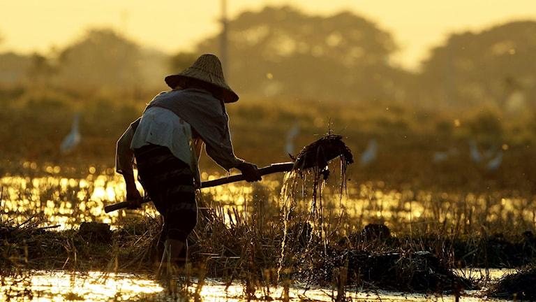 En bonde på ett risfält i Naypiydaw