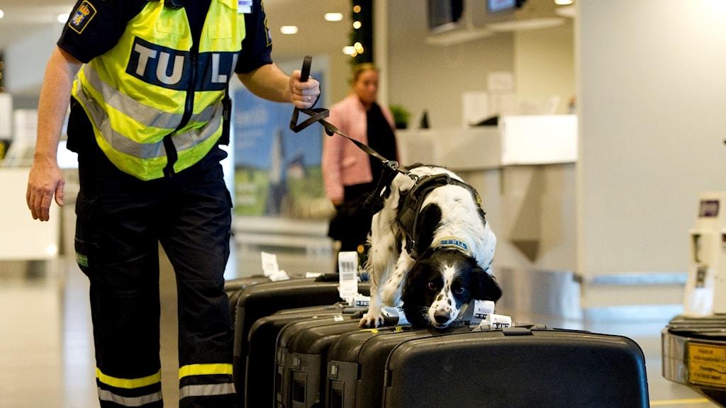 Tullhund som söker igenom bagage