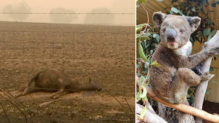 Delad bild: dött boskap ligger i rök, brandskadad koala i ett träd.