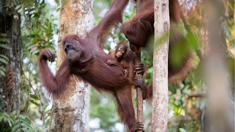 Minst 10 % av jordens sista orangutanger finns i Gunung Palungs naturreservat på Borneo