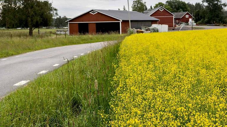Ett rapsfält intill en vägkant med en röd lada i bakgrunden. Foto: Christine Olsson/Scanpix