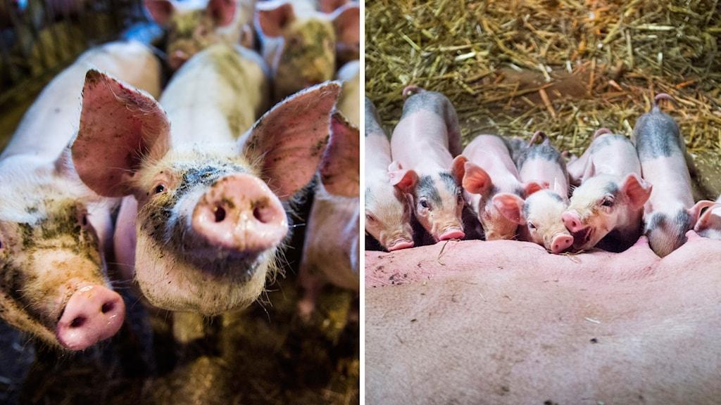 grisar och kultingar.