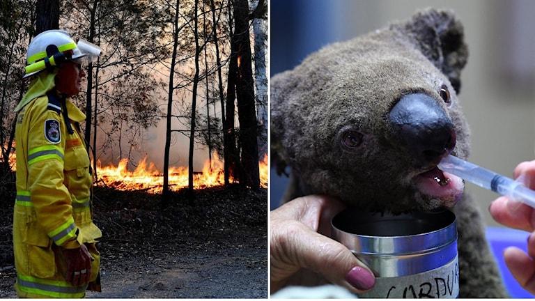 Skogsbrand och koalabjörn.