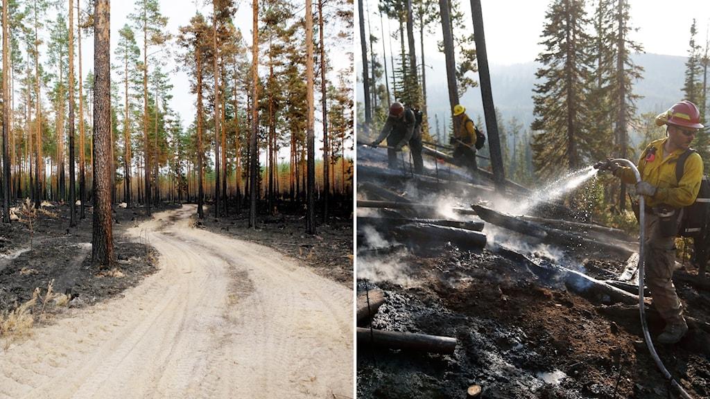 Bild på nedbrunnen skog efter skogsbranden i Ljudal i Sverige och i Yellowstone, USA.