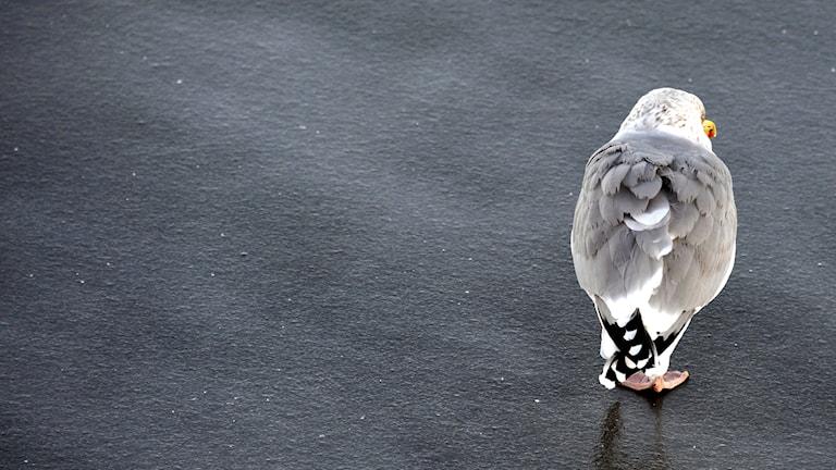 Ung gråtrut sitter på isen och huttrar.