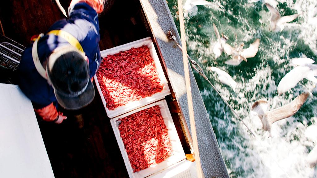 Fångade räkor på en trålare. Foto: Tore Meek/TT.