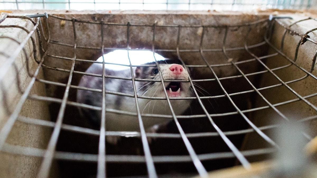 En mink tittar ut gnom gallret på en bur.