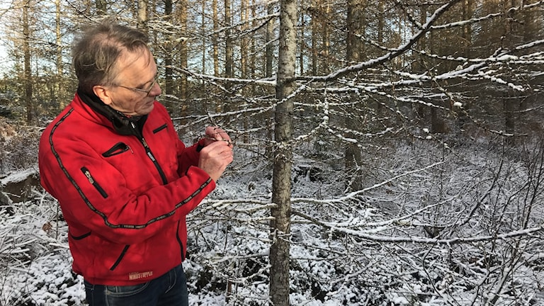 Lennart Bengtsson visar att hans lärkträd drabbats av lärksäckmal.