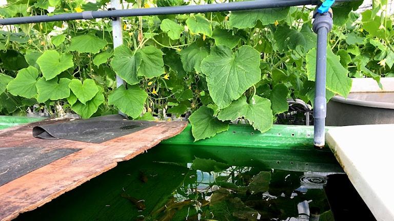 Fiskodling och gurkor i växthuset i Slite på Gotland.