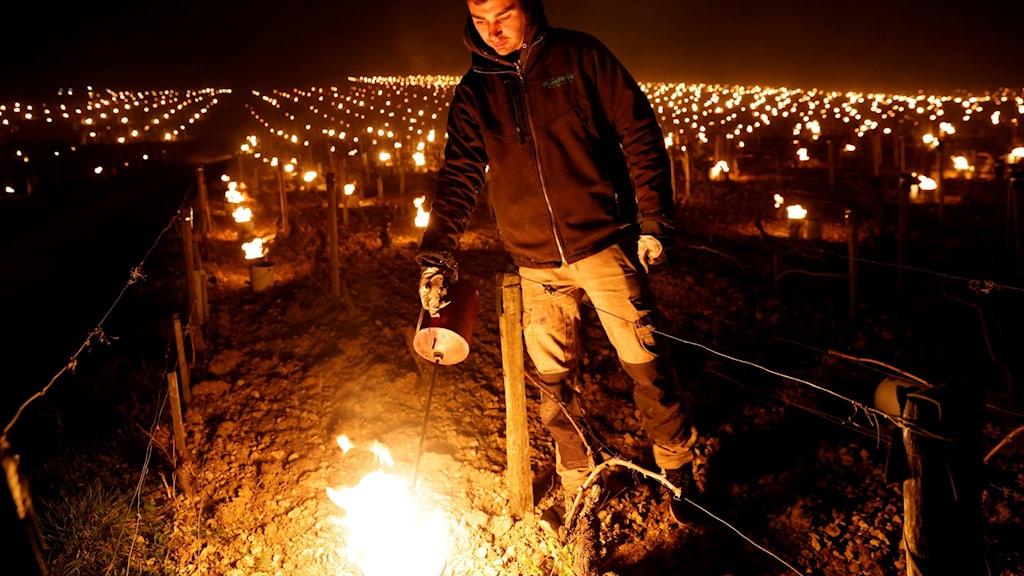 En vinodlare i Chablis tänder brasor vid vinrankorna för att skydda dem från frosten.