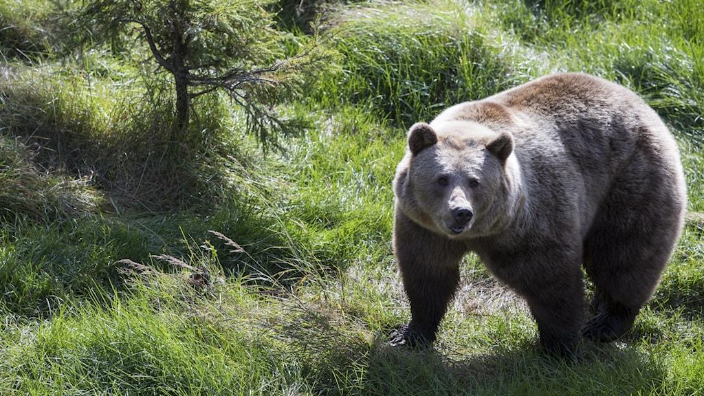 En brunbjörn.