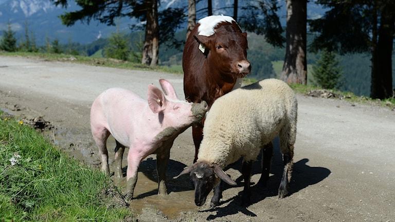 Ett får, en gris och en kalv.