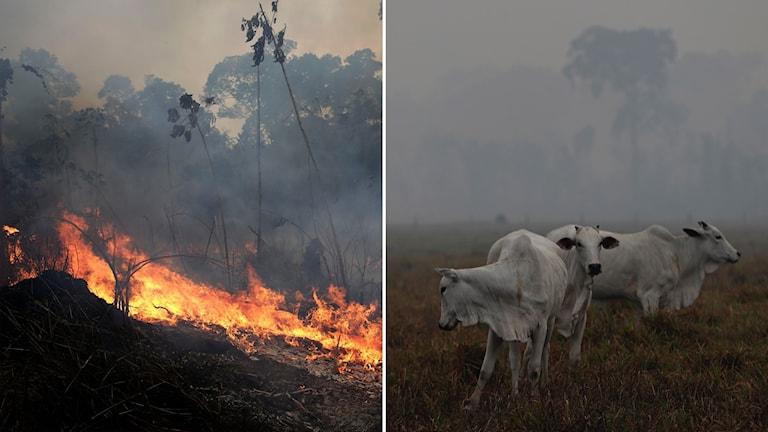 Delad bild: Regnskog som brinner, kossor i rök.