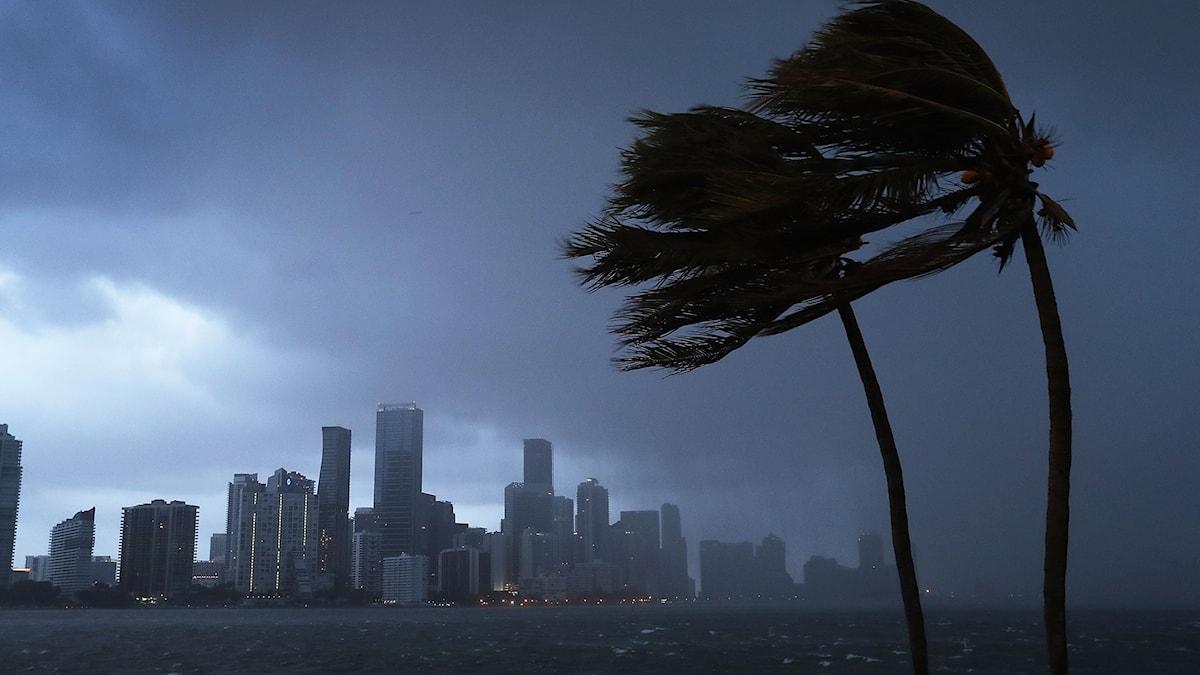 Palmträd svajar i vinden i Florida.
