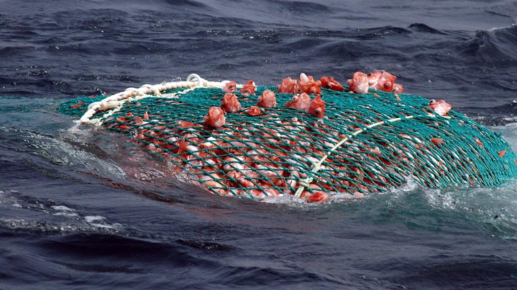 Arkivbild. Ett nät fullt av fisk.