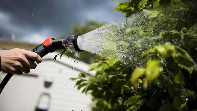 En person vattnar buskar i sin trädgård med vattenslang.
