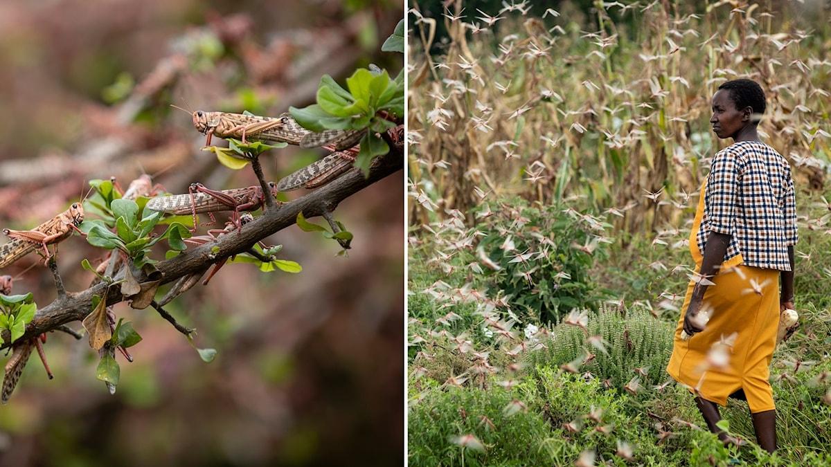 Bildsplit på närbild på gräshoppor och en person på ett fält med massor av gräshoppor runtomkring.