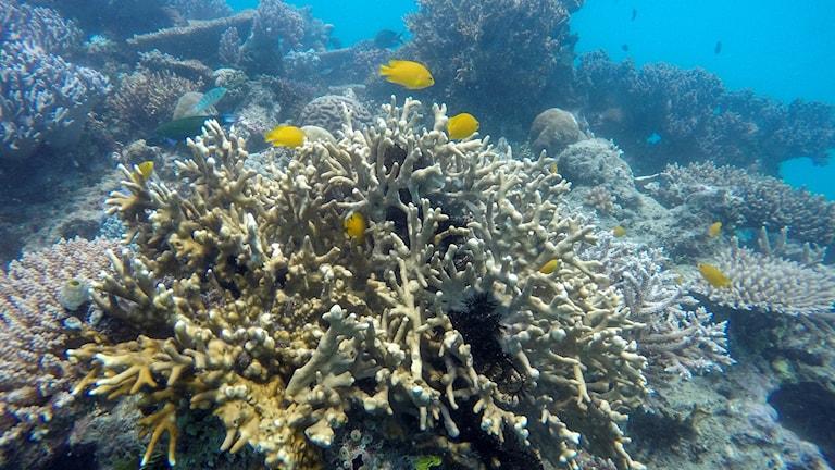 Döda koraller i havet.