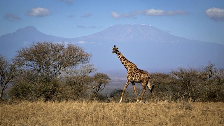 Turismindustrin ökar i Kenya