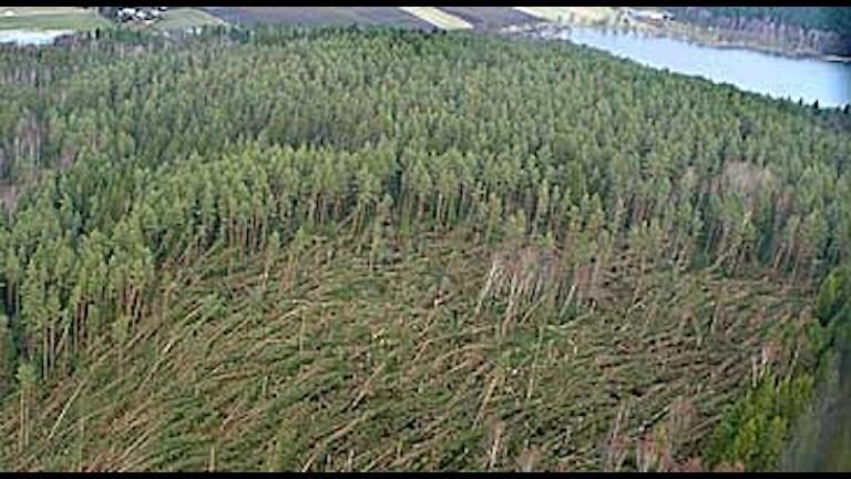 En flygbild över ett område skog som fällts av stormvindar. Foto: Åke Thim/PRB