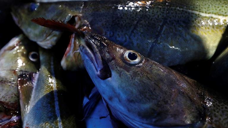 Skrei-fiskar fångade utanför Norge