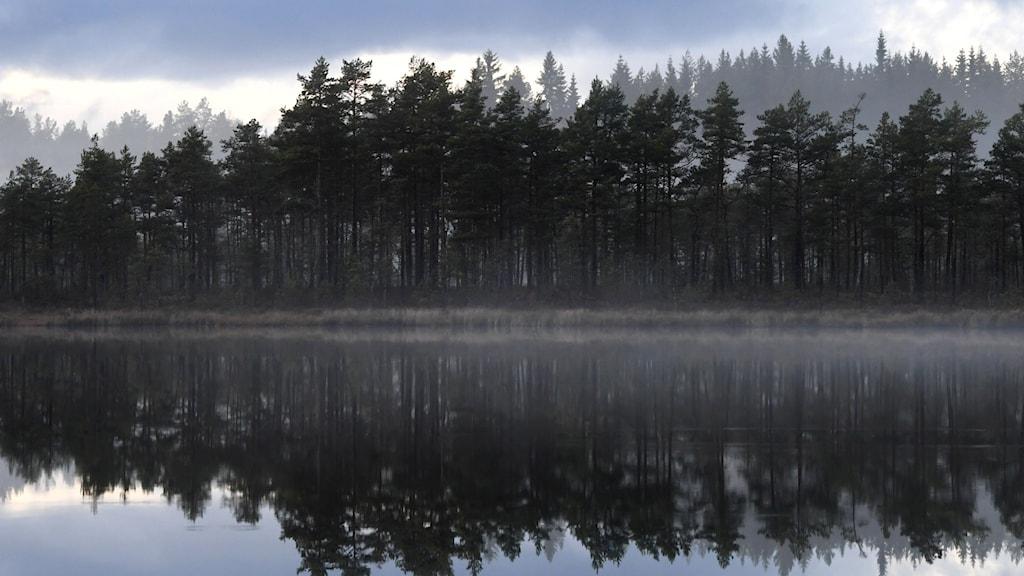 Skog vid sjö.