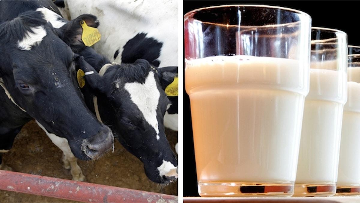 Två kor i en lada. till höger, flera glas med mjölk.