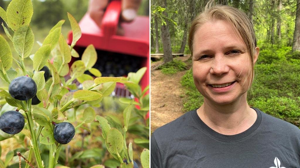 Anne-Maarit Hekkala, SLU och en blåbärsbuske.