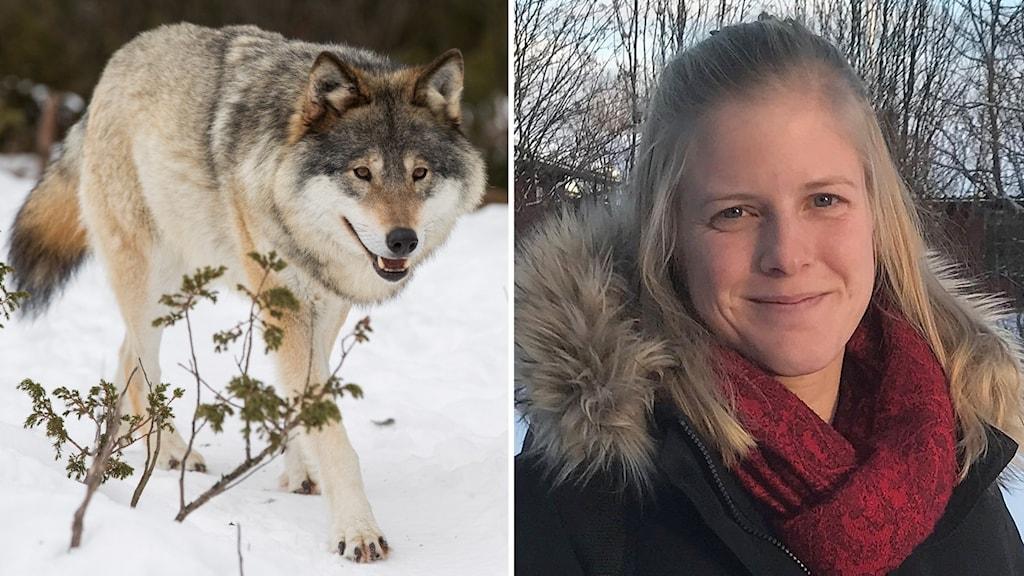 Två bilder: varg går på snötäckt mark samt porträttbild utomhus ung, blond kvinna med svart jacka med pälsklädd huva och rödmönstrad halsduk