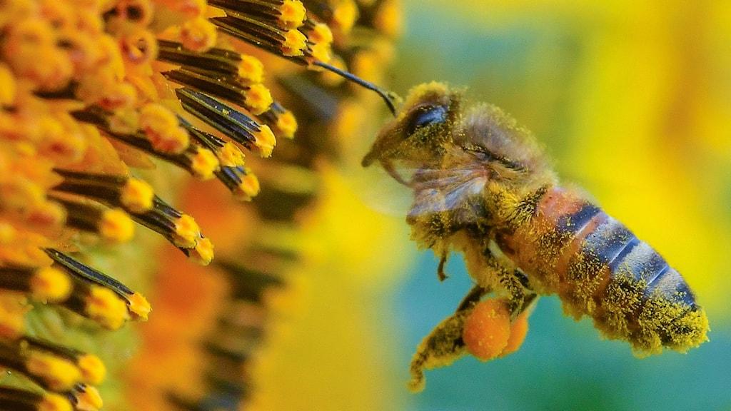 Ett bi i närbild bär pollen flyger till en blommande solros.