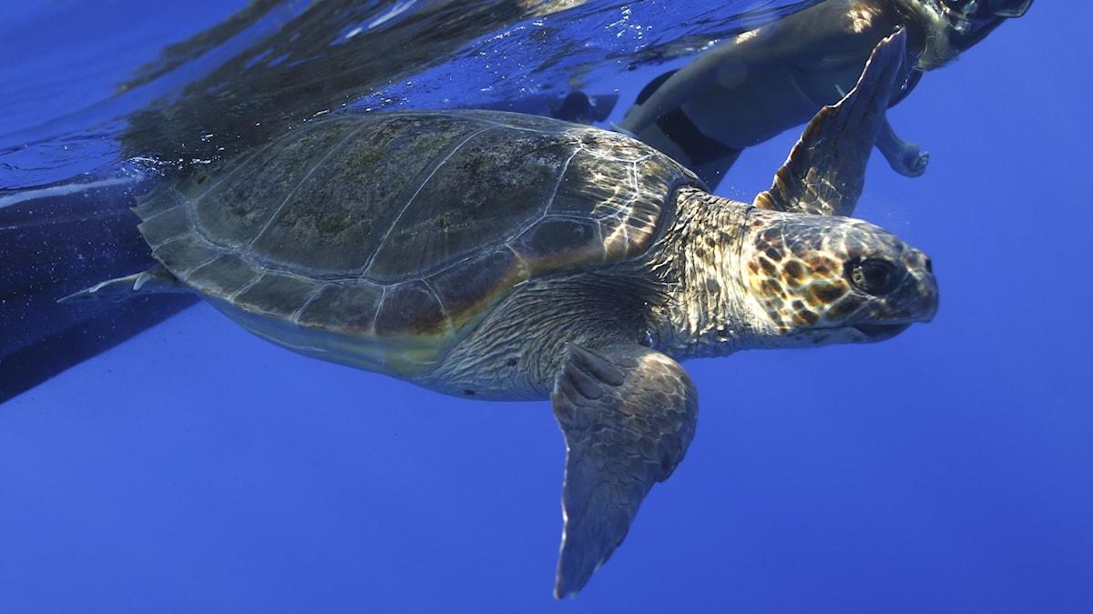 Sköldpadda i vattnet