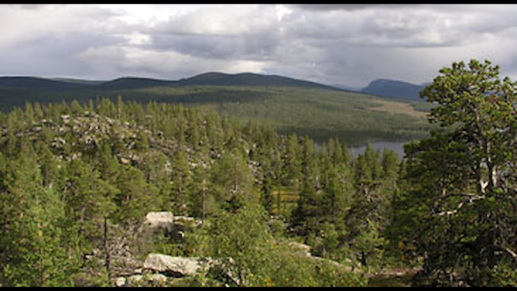 Naturskog Övre Piteälven. Foto: Olli Manninen/Scanpix.