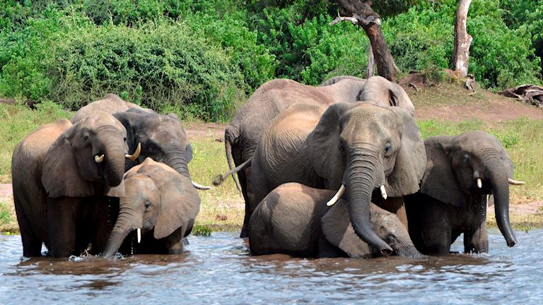 Elefanter i Botswana.
