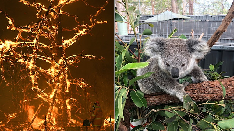 Bildsplit på ett träd i lågor i Australien och en koala som tillfrisknad efter bränderna.