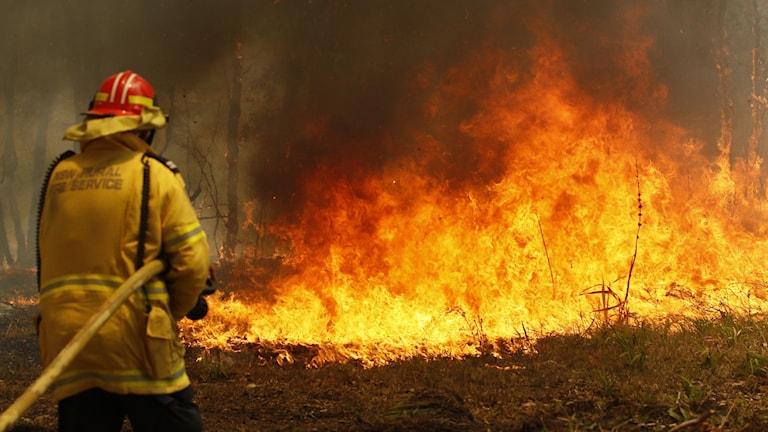 Skogsbränder härjar i Australien.