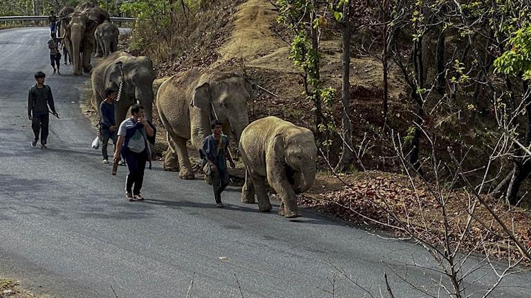 Elefanter i Thailand.