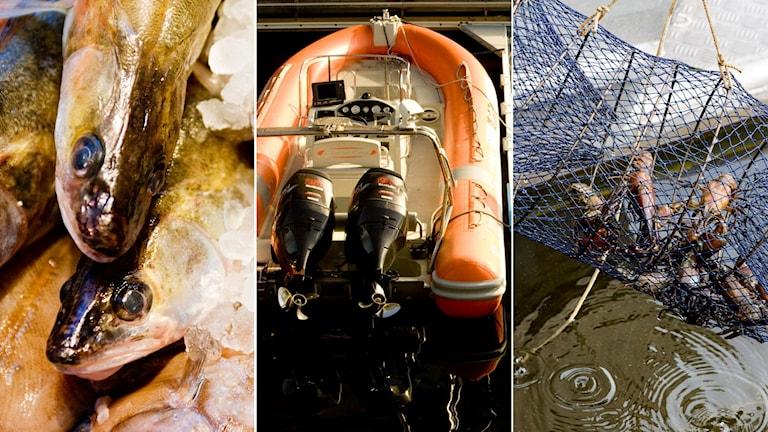 Gös på isbädd, orange gummibåt vid en brygga, nyfångade kräftor i en kräftbur.