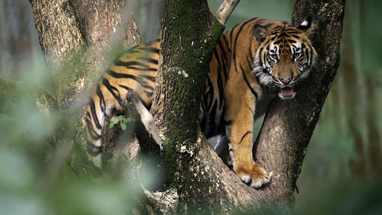 En tiger i Sumatra, Indonesien.