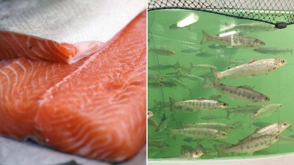 Delad bild: Laxsida och fiskar i en tank