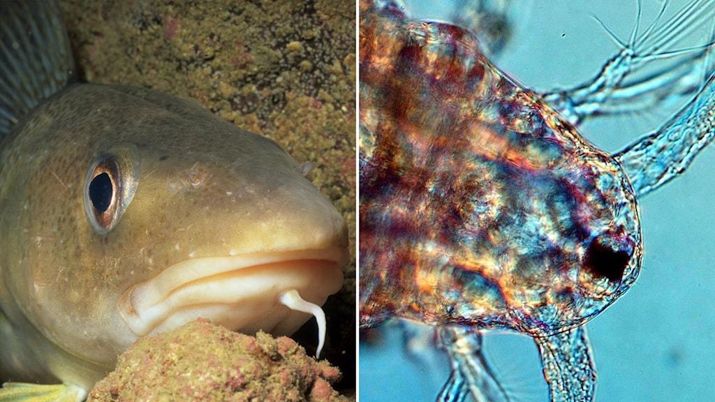 Delad bild: En torsk i vatten, en hoppkräfta i mikroskop.