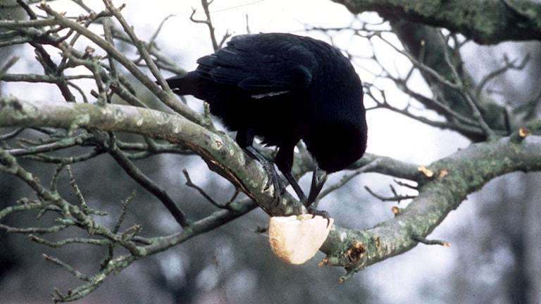 En råka sitter på en trädgren